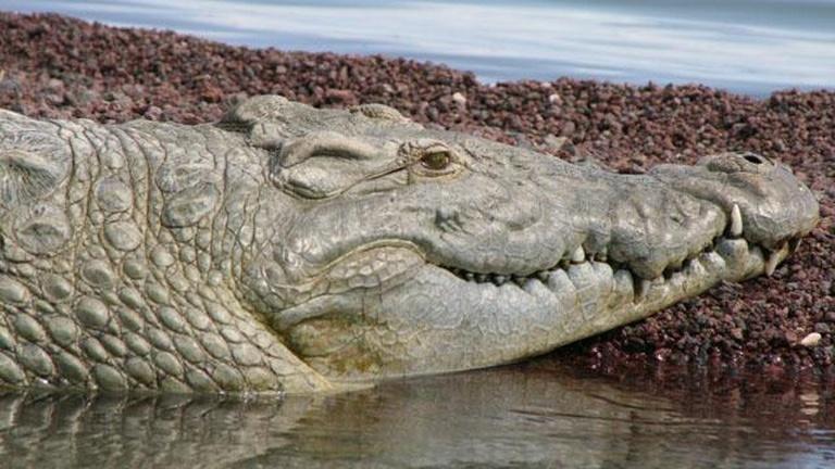 Supersize Crocs Interactive Crocodile Anatomy Nature Pbs