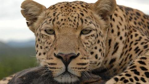 Nature -- Revealing the Leopard - Preview