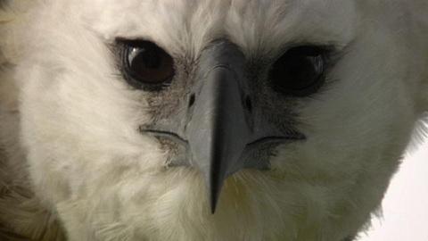 Nature -- Jungle Eagle - Preview