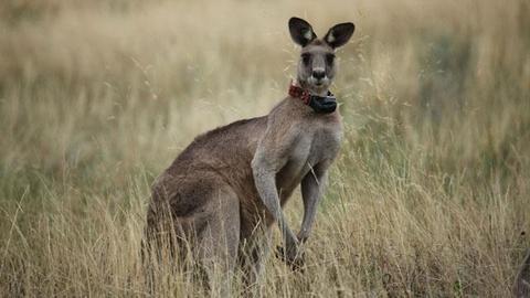 Nature -- S30 Ep5: Kangaroo Mob - Preview
