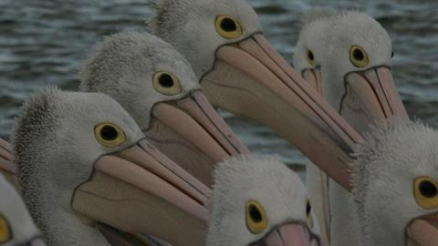 Nature -- Outback Pelicans