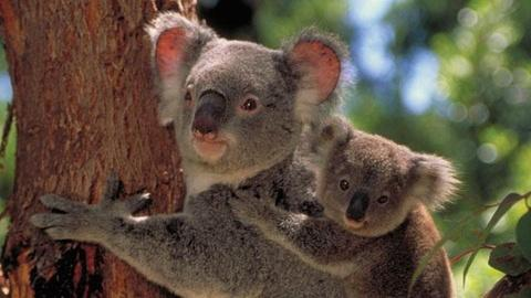 Nature -- Cracking the Koala Code - Preview