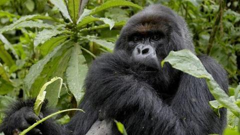 "S26 E11: ""The Gorilla King"" - Preview"