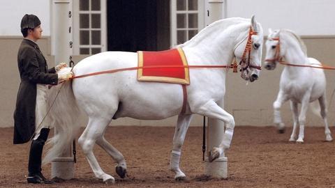Nature -- Legendary White Stallions