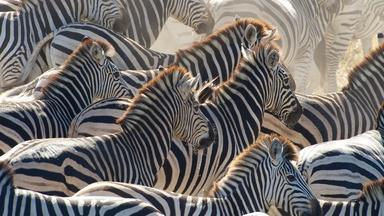 Great Zebra Exodus Preview