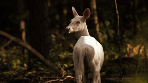 Nature -- S31 Ep12: The Ghost Deer