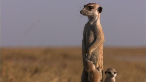 Nature -- S31 Ep12: Posturing Meerkat Pups