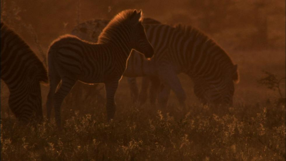 The Zebra of Botswana's Saltpans image