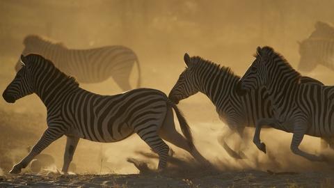 Nature -- Great Zebra Exodus