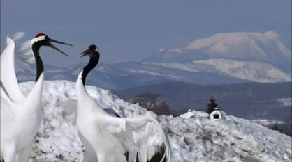 Nature -- Japanese Crane Courtship Dances