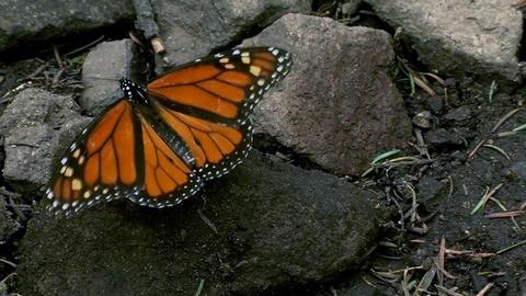 PBS NewsHour -- Why fewer monarch butterflies are surviving their migrations