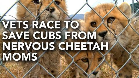 PBS NewsHour -- Vets race to rescue cheetah cubs from their mother