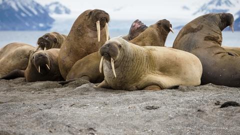PBS NewsHour -- 35,000 walruses on Alaska shore a sign of tremendous change