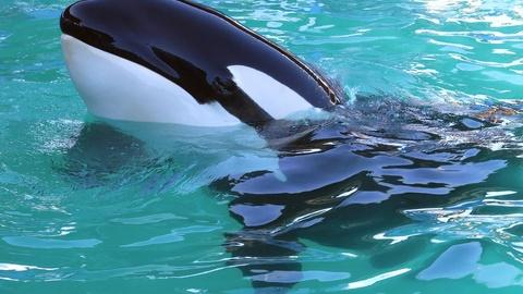PBS NewsHour -- Will 'world's loneliest orca' be released into the wild?