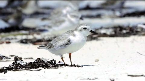 PBS NewsHour -- Scientists hope to protect the piping plover's winter home