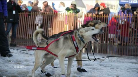 PBS NewsHour -- Iditarod imports snow for race's slushy start