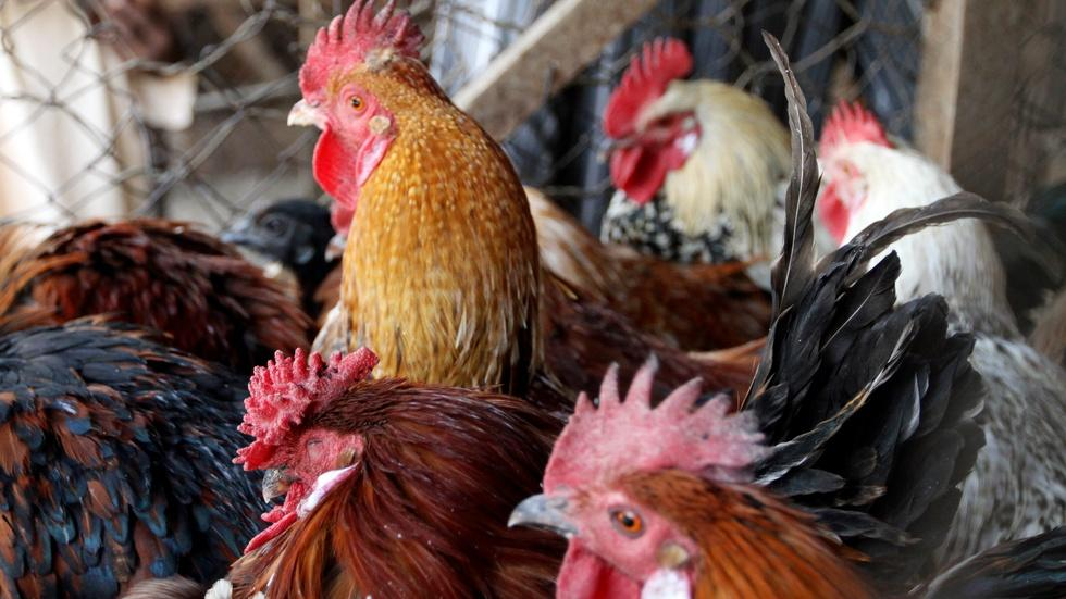 How did Iowa's Avian Flu outbreak get this bad? image