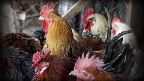 PBS NewsHour -- Worst U.S. bird flu outbreak hurts Midwest farmers