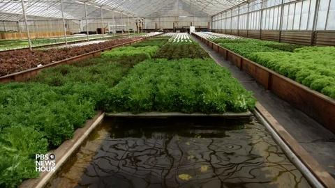 PBS NewsHour -- Aquaponic farming saves water, but can it feed the country?