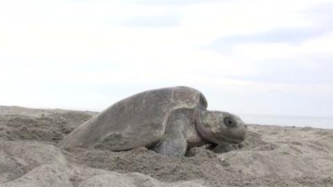 PBS NewsHour -- How to protect Mexico's unhatched sea turtles? Drones.