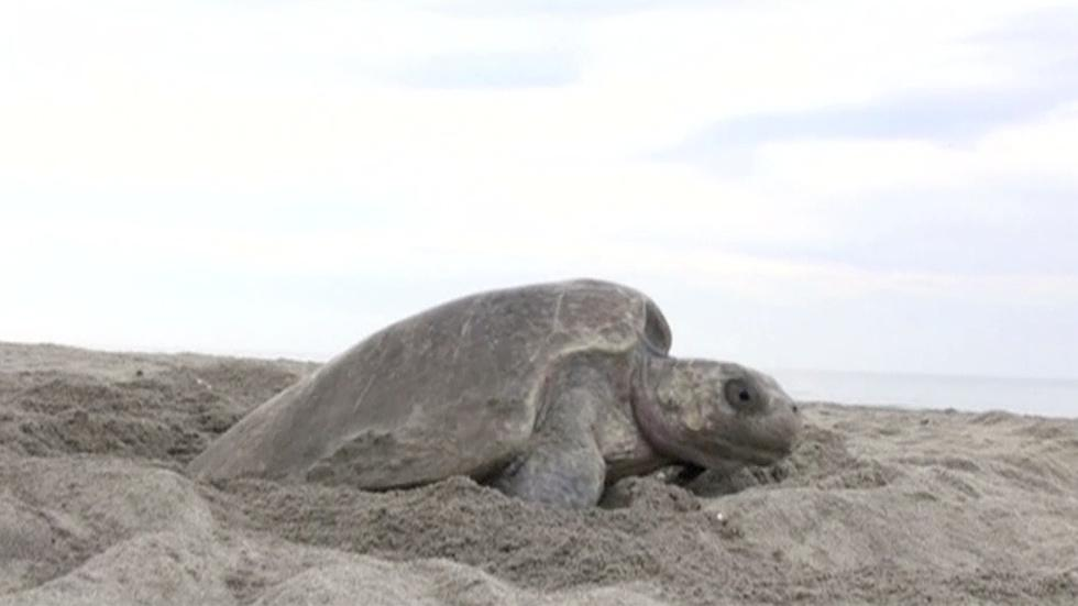 How to protect Mexico's unhatched sea turtles? Drones. image