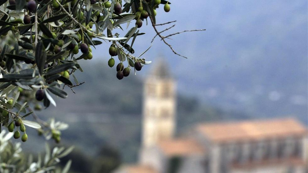 Italian olive trees are withering from this deadly bacteria image
