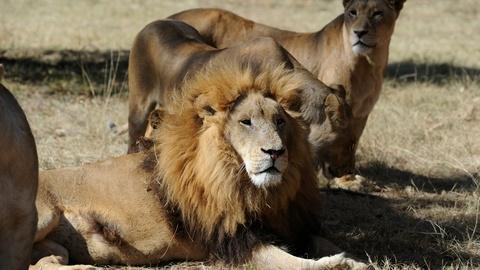 PBS NewsHour -- How a new U.S. law protects lions in Africa
