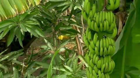 PBS NewsHour -- The end of bananas as we know them?
