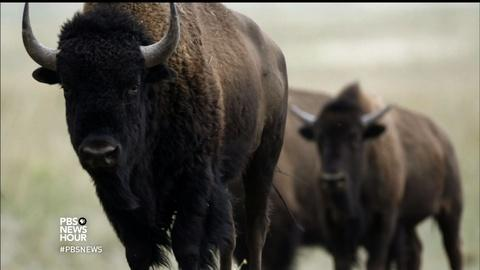 PBS NewsHour -- Honoring the bison as America's national mammal