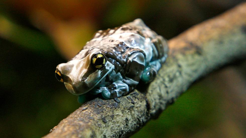 Why the Amazon milk frog is the world's greatest gymnast image