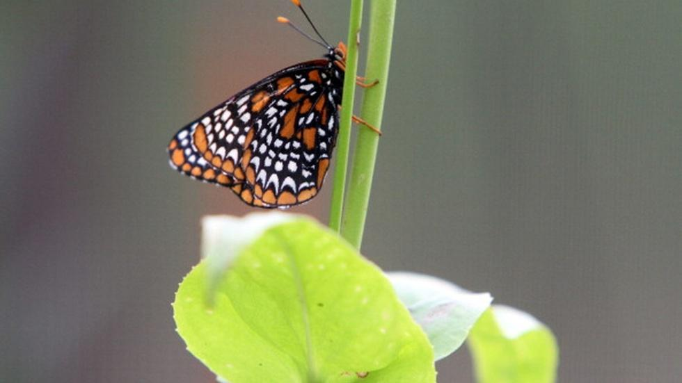 Endangered butterfly finds salvation in a women's prison image