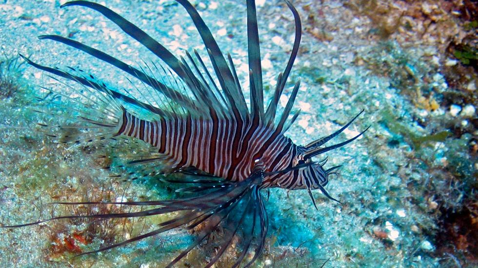 How scientists aim to combat the invasive lionfish image