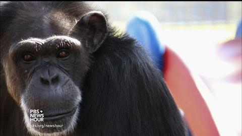 PBS NewsHour -- Where seven chimps are living out their post-lab days