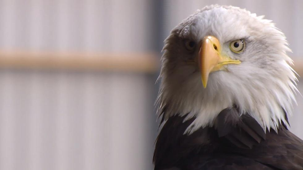 Dutch police use eagles to hunt illegal drones image