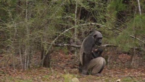 PBS NewsHour -- Louisiana Chimps Pregnant Despite Multiple Vasectomies