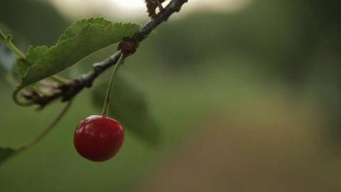 PBS NewsHour -- A Sour Year for Michigan Cherry Farmers