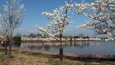 PBS NewsHour -- Planning to Visit the Cherry Blossoms? Err on the Early Side