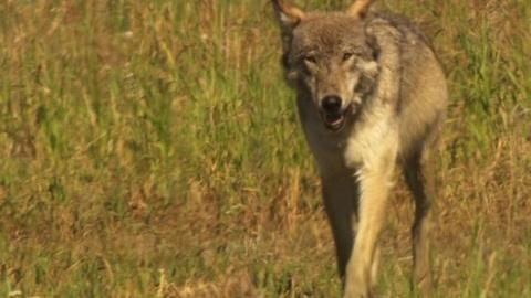 PBS NewsHour -- Cowboys vs. Gray Wolves: Predator Once Again Prey