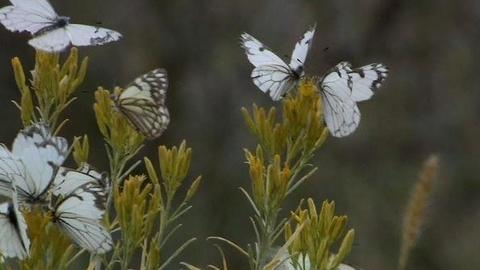 PBS NewsHour -- In Oregon, Swarms of Pine Butterflies Take Toll on Forests