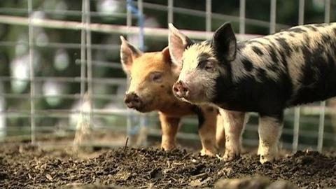 PBS NewsHour -- Mobile Slaughterhouse Helps Wash. State Farmers Meet...