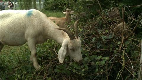 PBS NewsHour -- We're Not Kid-ding: Goats Graze Historic Capitol Hill