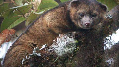 PBS NewsHour -- 'Day One' for Olinguito