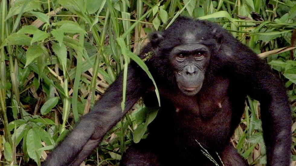 Can the Bonobo Get the Apple? image