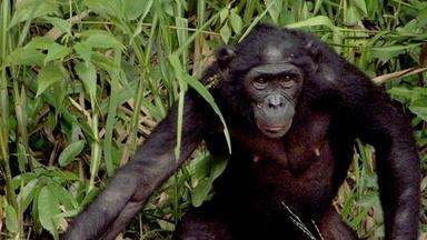 Can the Bonobo Get the Apple?