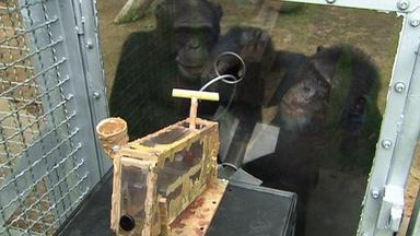 Can the Chimp Get the Grape?