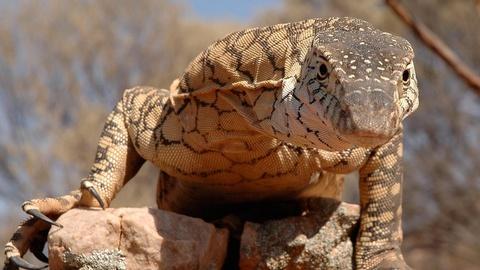 NOVA -- S36 Ep16: Lizard Kings