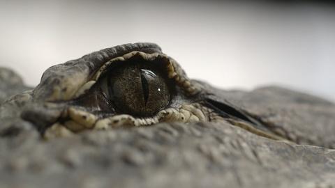 NOVA -- Spinosaurus vs. Alligator