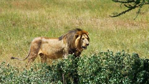 NOVA -- The Serengeti Lion Project