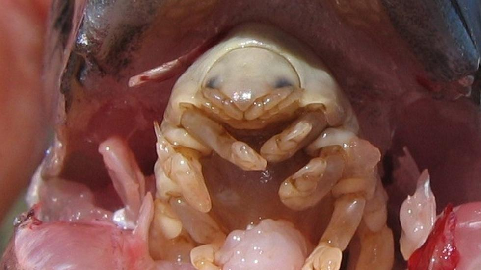 The Tongue-Eating Parasite image