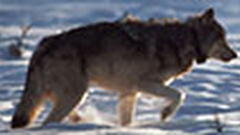 Hunting Wolves, Saving Wolves